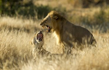 The male and female lion mate every 15 minutes over a 5 days period, thankfully each session lasts an average of 17 seconds.