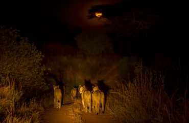 Night drives are a fantastic activity to see lions hunting.