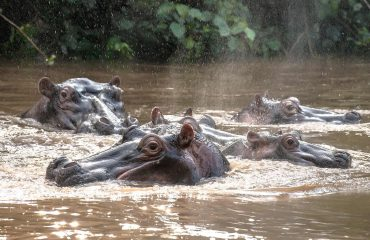 Hippopotamus are observed at extremely close quarters on a boating safari down Queen Elizabeth National Park's Kazinga Channel.