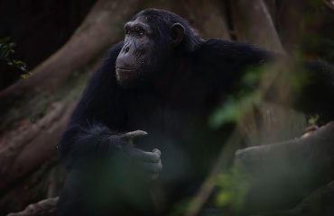 Chimpanzees are extremely intelligent animals capable of 30 known communication vocalisations.