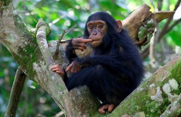 Chimpanzee trekking in the Kyambura Gorge involves tracking and spending time with the habituated family living in the gorge.