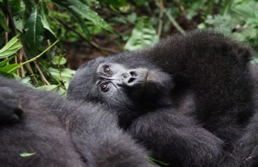 Despite early blockbuster movies suggesting otherwise gorillas are actually exceptionally peaceful animals.