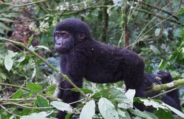 Astonishingly baby gorillas only weigh between 3-4 lbs at birth compared to the average 7.5 lbs human baby