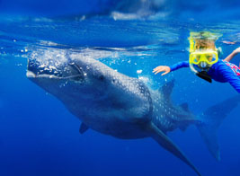 family holiday swimming with whale sharks