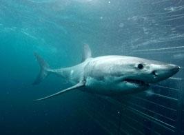 Pelagic shark adventures South Africa: Ultimate Wildlife Adventures