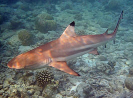 Snorkelling with sharks in the Indian Ocean: Ultimate Wildlife Adventures