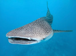 Swimming with whale sharks- Mafia Island: Ultimate Wildlife Adventures