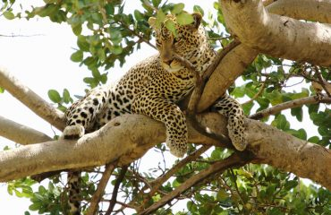 Being nocturnal, leopards are often seen lazing in trees during the day. Head out on a night game drive to witness these big cats hunting.