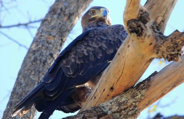 The tawny eagle (aquila rapax) is a large African eagle with a wingspan of almost 2 metres.