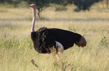 The ostrich is the largest species of bird. Although flightless, it avoids predation by being capable of achieving land speeds of up to 70 km/h
