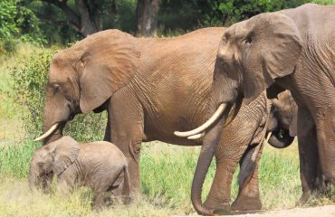 Elephant family culture dictates calves are brought up by several female members of the herd.