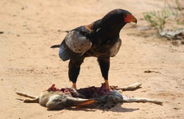 A Bateleur protects its quarry. However, this rabbit has likely been scavenged as opposed to killed by the eagle.