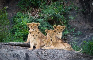 Five lion cubs relaxing in the Serengeti National Park