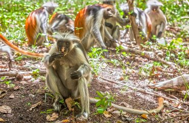 Visit the endangered red colobus monkeys at Jozani Forest