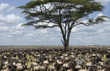 The impressive wildebeest migration