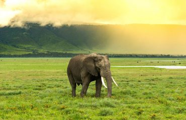 Lone bull elephant in the Ngorongoro Crater