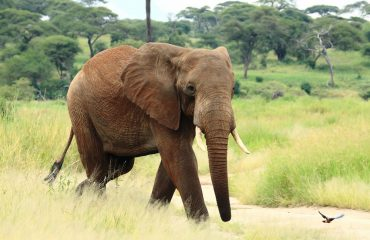 Did you know? The African elephant's trunk has more than 100,000 muscles.