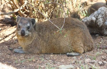 Did you know? The diminutive rock hyrax is the closest living relative of the enormous elephant and manatee.