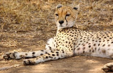 The cheetah can accelerate from standing to 112 km/h in less than 3 seconds, almost identical to that of a Formula 1 car