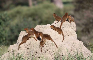 A family of dwarf mongoose adopt a vantage point on a disused termite mound.
