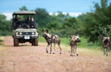 African wild dogs, or painted wolves as their scientific name translates, are fortunate sightings on any safari. Their nomadic lifestyle sees them cover a home range of approximately 1500 square kilometres.