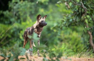 The charismatic African wild dog has been listed as endangered by the IUCN. The survival of the species remains precarious.