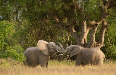 Elephants possess arguably the strongest family bonds of any wild animal, underpinned by cooperation, safety and compassion.