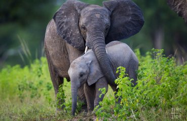Did you know? Young elephants are reliant on their mother's milk up until the ages of 5-10 years