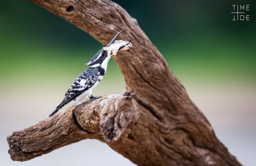 The banks of the Luangwa River are the perfect place to spot beautiful birds such as this pied kingfisher enjoying her latest catch.