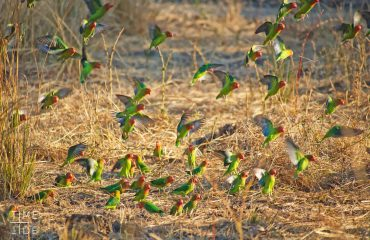 Lilian's lovebirds are always a spectacular sighting, especially for avid birders.