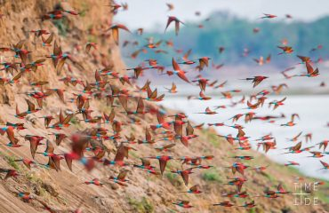 Look out for southern carmine bee-eaters who will build burrows 1-2 metres deep into dry riverbanks. A whole colony will occupy the same stretch, making for dramatic displays as they come and go from their burrows.