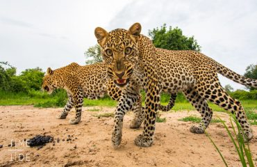 A young leopard being led to a kill her mother had hidden in the undergrowth earlier.