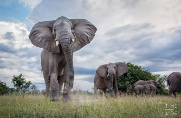 Elephants photographed with a remote camera-buggy (BeetleCam). South Luangwa National Park, Zambia.