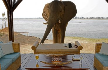 Never leave your valuables unattended at Chiawa Camp. You never know who will pay a visit when you nip to the bar.