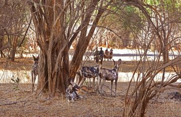 Walking safaris at Chiawa Camp promise to be exhilarating. Close approaches towards predators is truly heart-stopping.