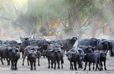 Huge herds of buffalo whilst on a game drive in the Lower Zambezi National Park