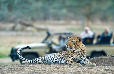 The Lower Zambezi National Park is extremely reliable for leopard sightings.