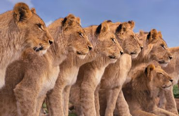 Ruaha is renowned for its large prides of lions