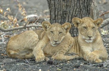 Ruaha and Selous are both renowned for spectacular lion sightings