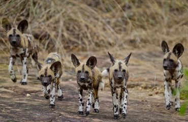 Wild dogs occur in healthy populations in both Ruaha and the Selous