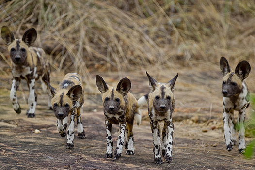 Walking with Giants Tanzania, Selous Game Reserve 3 - Ultimate Wildlife Adventures