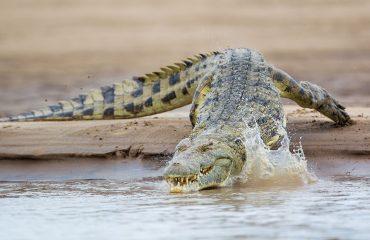 Nile crocodile entering the Luangwa River