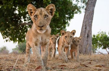 Inquisitive lion cubs