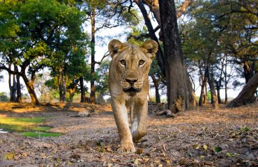 Young lioness examining the camera