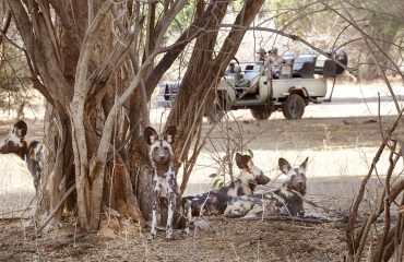 Endangered African wild dogs are reliable sightings on Chiawa game drives