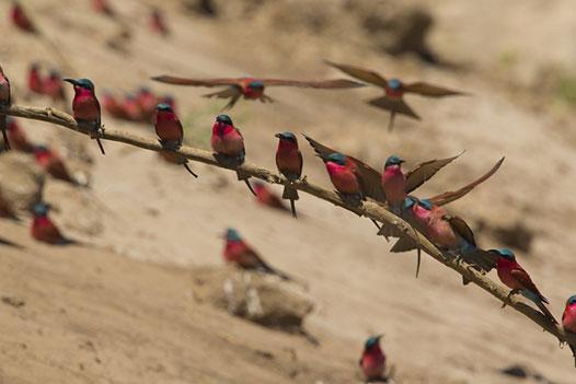 Zambia Luxury Honeymoon, South Luangwa National Park 4 - Ultimate Wildlife Adventures