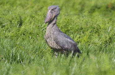 Mabamba Swamp close to Entebbe in Uganda is one of the most reliable places in the world to see the magnificent shoebill