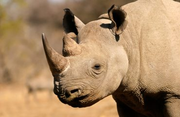 With populations as low as 5000-5400 individuals the black rhinoceros (diceros bicornis) remains critically endangered.
