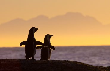 A pair of African penguins appreciate the sunset after a wonderful day frolicking in the waters off False Bay