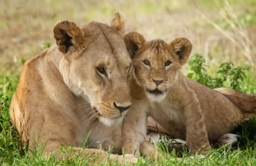 A lioness affectionately rubs cheeks with her cub